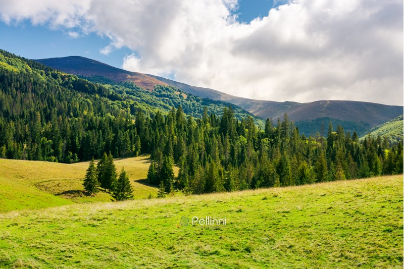wonderful valley with spruce forest. beautiful landscape in mountains. sunny and warm september weather