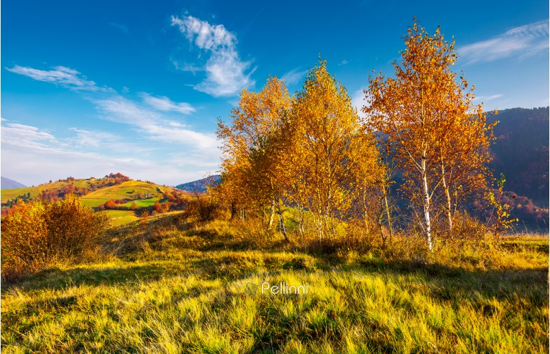 yellow birch trees in mountains at sunrise. beautiful countryside scenery in autumn with rural fields on hill in the distance under the lovely blue sky with some clouds