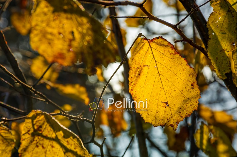 yellow leaf on the twig in autumn forest. beautiful autumnal background