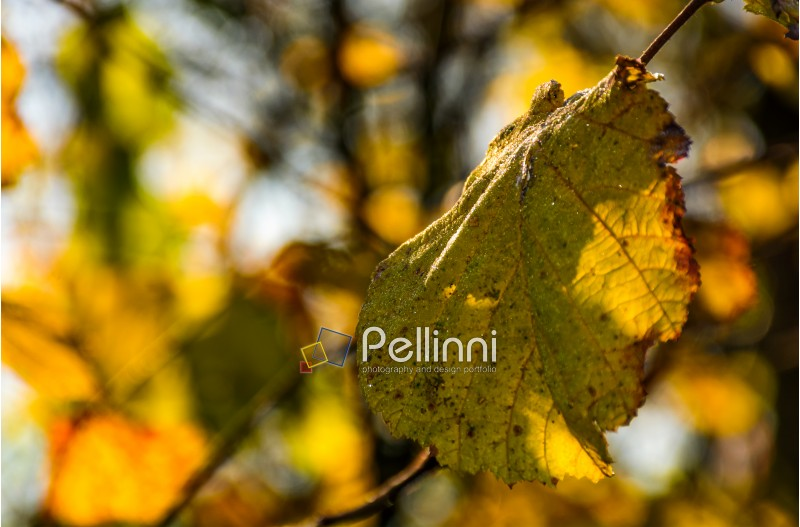 yellow leaf with dew drops on the twig in autumn forest. beautiful autumnal background