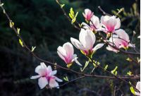 Beautiful springtime closeup background. Magnolia flower blossom in garden