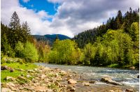 River flows among of a green forest at the foot of the mountain. Picturesque nature of rural area in Carpathians. Serene springtime day under blue sky with some clouds
