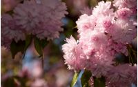 pink Sakura flowers closeup on a branch. beautiful blurred background of blossoming garden in springtime