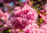 beautiful spring background. pink Sakura flowers closeup on a branch. blurred background of blossoming garden in springtime