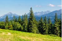 Spruce forest on a meadow  in Zakopane of Poland side of Tatra mountains