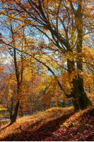 autumn spirits in the woods. wonderful natural background of trees in reddish and yellowish foliage on a hill