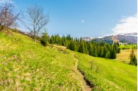 beautiful countryside in springtime. footpath through grassy hill. spruce trees on a meadow. distant mountain with snow on the top. wonderful sunny weather