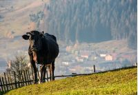 black cow on grassy hillside above the village. beautiful countryside scenery