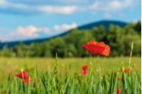 blooming red poppy flower in the field. beautiful rural scenery in early summer. blurred background with distant hill. sunny weather. shallow depth of field