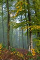 blue foggy morning in autumn forest. beautiful nature scenery. mix of yellow and green foliage on trees
