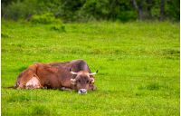 brown cow rests on a grassy meadow. cute animal emotion, act like a cat