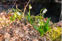 first flowers in springtime. spring snowflake also called Leucojum on a blurred background of forest meadow in sunlight. snowbell closeup among foliage.