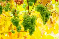 bunch of white grape vine hanging on a brunch. lovely harvest time background