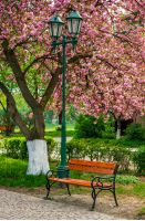cherry blossom in city park. wooden bench and lantern under the branches of Sakura tree