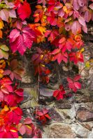 colorful texture of ivy plant on the stone wall. red and green leaves background