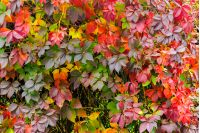 colorful texture of ivy plant on the wall. red and green leaves background