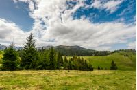 Conifer forest on a hill on a bright sunny day. blue sky with clouds in summer countryside landscape