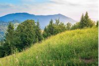 conifer trees on a grassy hill. beautiful summer scenery in mountains at sunrise. meadow with wild herbs. wonderful sunny weather