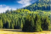 coniferous forest on a steep mountain hillside