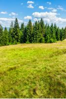 coniferous forest on the edge of the hill in Carpathian mountains