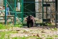 Synevir, Ukraine - Jun 21, 2014: curious little brown bear in Carpathians. Rehabilitation center near Synevir lake in TransCarpathia, Ukraine.