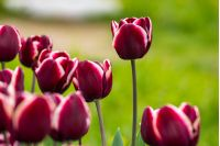 dark magenta tulip with white stripe on blurred background of colored bokeh in park