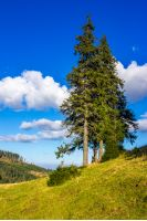 evergreen tree on a hillside meadow in high mountains on a summer day