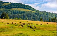 few cows grazing on hillside meadow. fence on rural fields near the forest. beautiful countryside summer landscape