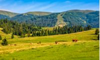 few cows grazing on hillside meadow. rural fields near the forest. beautiful countryside summer landscape. tilt-shift lense effect