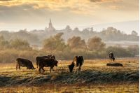 Carpathian rural area behind the village  with some cows in fog on meadow at frosty autumn morning