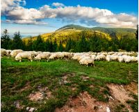 Composite image of rural landscape with flock of sheep on the hillside meadow at the foot of the mountain in Romania