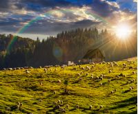 flock of sheep under the rainbow on the meadow on hillside near the fir forest in mountains of Romania in evening light