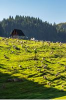 flock of sheep on the meadow on hillside near the fir forest in mountains of Romania