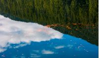 beautiful nature background of foliage on the water reflecting spruce forest