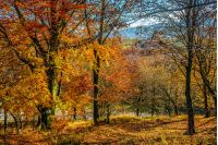 forest; foliage; yellow; orange; nature; park; scenic; tree; wood; autumn; fall; leaf; tall; old; season; outdoor; tourism; wood; fresh; yellow; red; sunny; blue; landscape; leave; colorful; colors; background; environment; vibrant; bright; countryside; branch