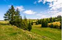 forest on a hill side meadow in high mountains. beautiful spring landscape in fine weather