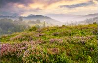 grassy hills with field of flavoring thyme at foggy sunrise. gorgeous landscape in Carpathian mountains
