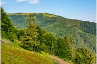 hillside with conifer forest and fireweed. beautiful colors of purple flowers and green trees in mountains against the blue sky
