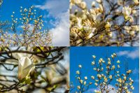 set of images with magnolia flower close up on a blurred  background of a blue sky