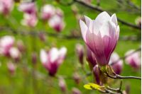 three magnolia flowers close up on a green grass background