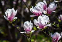 magnolia flowers close up with shallow depth of field on a blur background