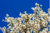 magnolia flowers close up on a blue sky background