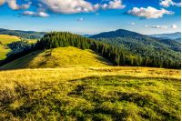 meadow with tall grass on a mountain top near coniferous forest in morning light