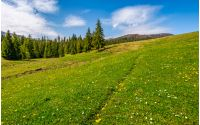 meadow with wildflowers. dandelions and daisies among green grass. spruce forest at the foot of the mountain. beautiful springtime landscape. good weather with blue sky and few clouds.