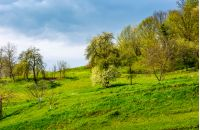 apple orchard on a grassy hillside. agricultural area in mountains. springtime landscape on a cloudy day