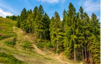 path through spruce forest on hillside. lovely summer landscape