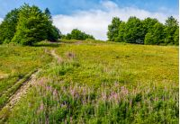 path to forest uphill the mountain slope through the meadow with purple fireweed flowers