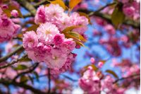 delicate pink flowers blossomed Japanese cherry trees in front of blurred background in spring garden