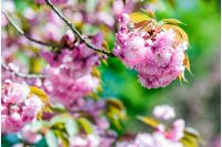 closeup of pink flowers with shallow depth of field on the branches of Japanese sakura  bloomed  in spring green garden blurred background