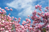 pink magnolia blossom in spring. beautiful flowers beneath a blue sky with fluffy cloud on a sunny day. wonderful nature background